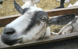 Goats - well hello there!