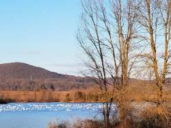 Lake with Snow Geese and bare trees