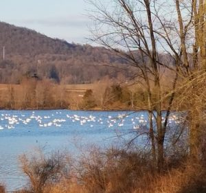 snow geese at middle creek 2017