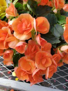 beautiful blushing begonia